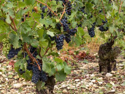 Pinot Meunier Stands Alone