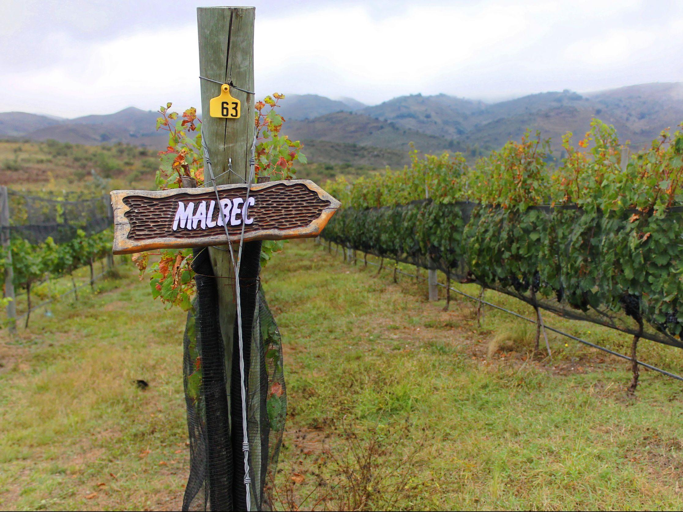Malbec vineyard Argentina