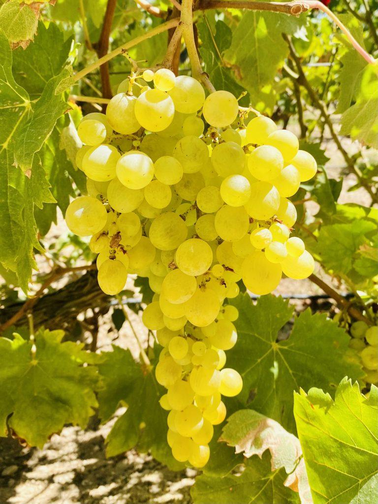 Muscat of Alexandria grapes at Bodegas Faelo